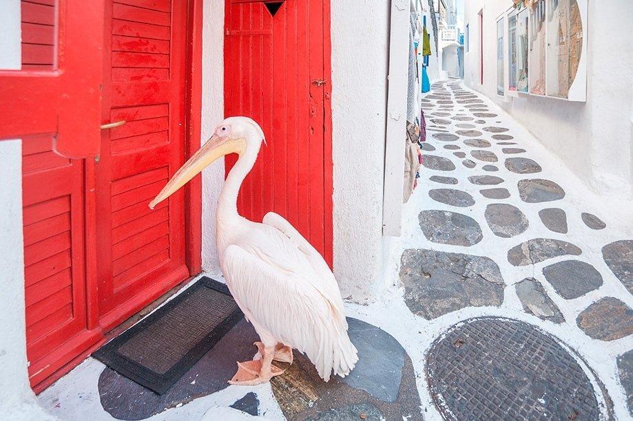 Pelícano Petros en Mykonos | Rojo Cangrejo Blog de viajes