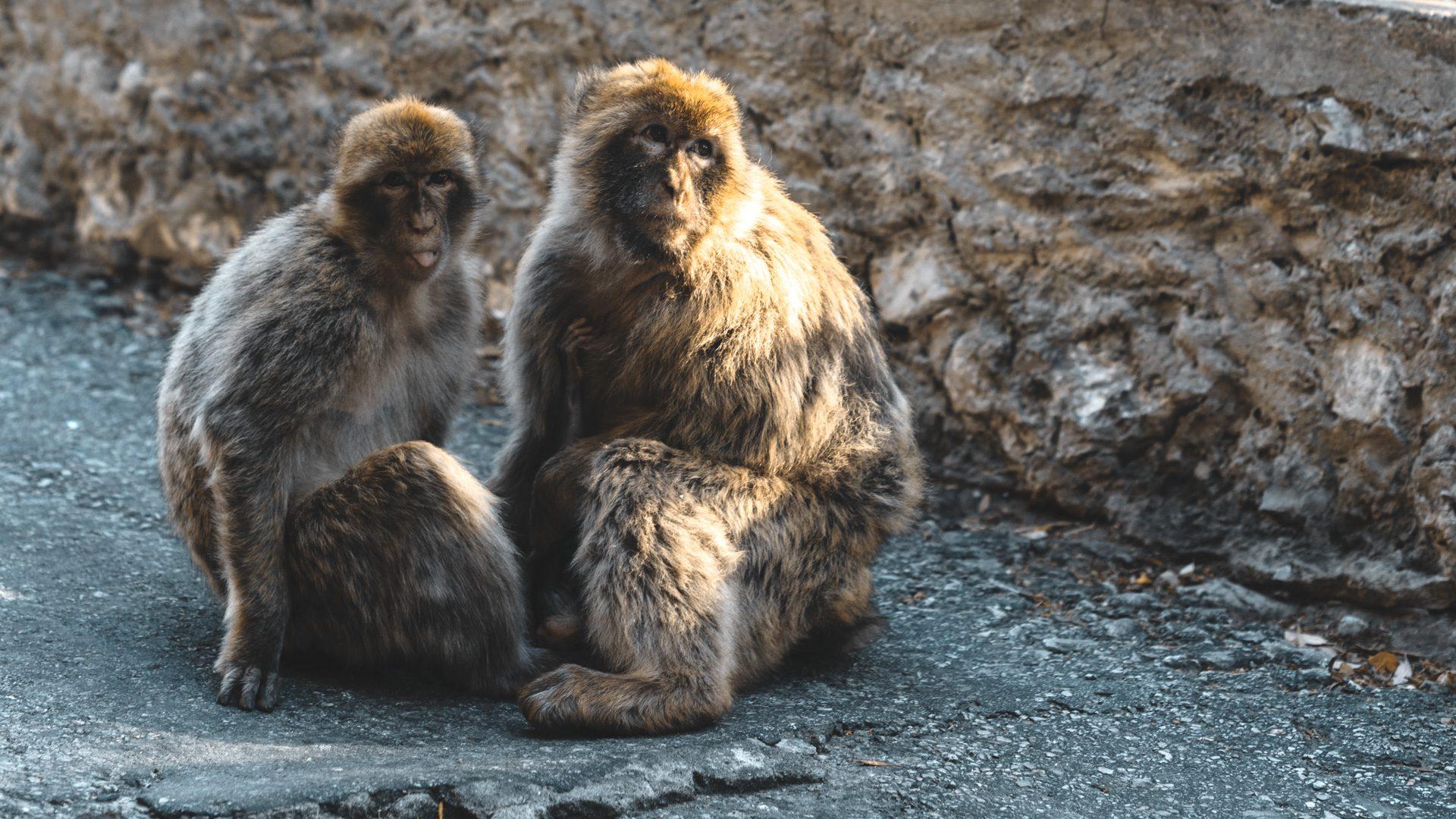 Gibraltar monos horario | Rojo Cangrejo Blog de Viajes