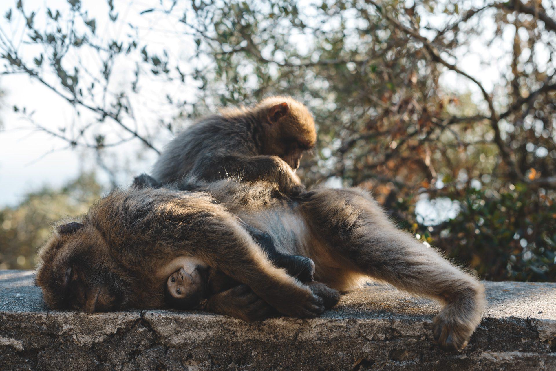 Gibraltar monos salvajes | Rojo Cangrejo Blog de Viajes